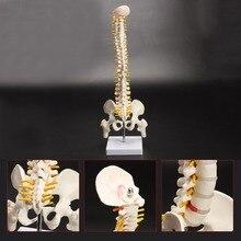 45cm Flexible 1:1 adulto Lumbar Bend Spine modelo humanos esqueleto modelo con disco espinal Pelvis modelo utilizado para masaje, yoga, Etc.