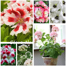 100 Pcs 24 Colors Univalve Geranium Seeds Belgium Pelargonium Peltatum Flower Bonzai Potted Plant for Indoor Rooms Garden DIY