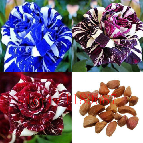 100 pcs/bag rose seeds,rose flower seeds,mix colour,rare bonsai flower seeds,Natural growth,for home garden planting