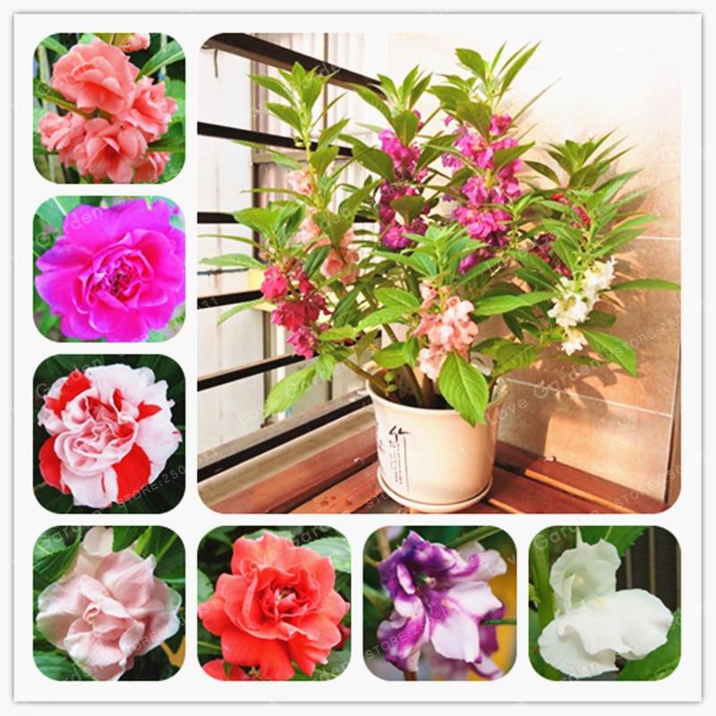 Бальзамин Balsamina бонсай сад бальзам бонсай многолетний цветок бонсай для домашние, садовые растения 20 шт./пакет