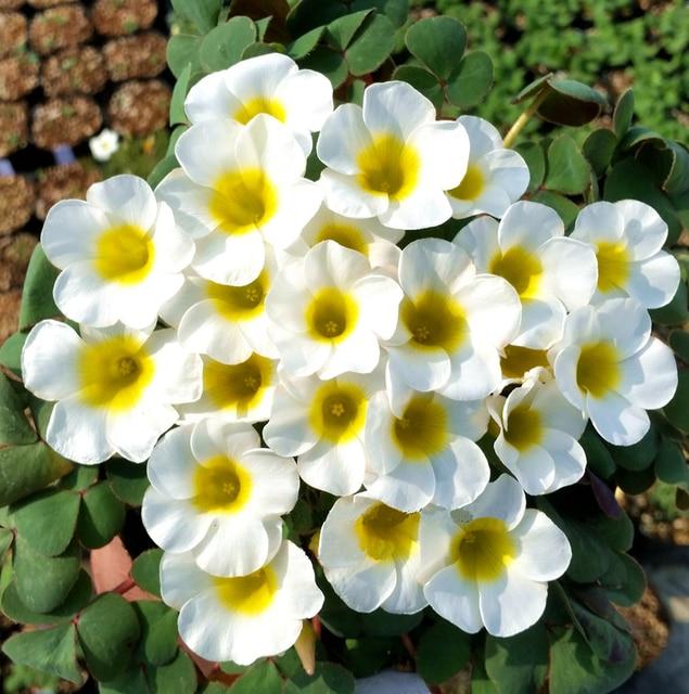 Zlking 1 pcs white rare oxalis purpurea alba red back oxalis flowers zlking 1 pcs white rare oxalis purpurea alba red back oxalis flowers bulbs color rotary for mightylinksfo