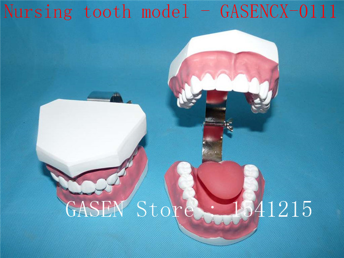 Oral care model Tooth model Teaching model Dental teaching model Medical teaching aids Nursing tooth model - GASENCX-0111