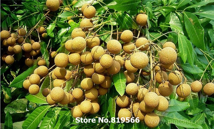 real chinese dimocarpus longan litchi fruit seeds outdoor plants, Beautiful flower