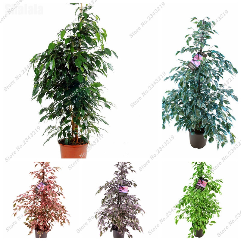Hot Sale! New Ficus Banyan Seed Exotic Bonsai Plant DIY Home Garden Household, Import Tree Flower Pot Seed 10 Pcs