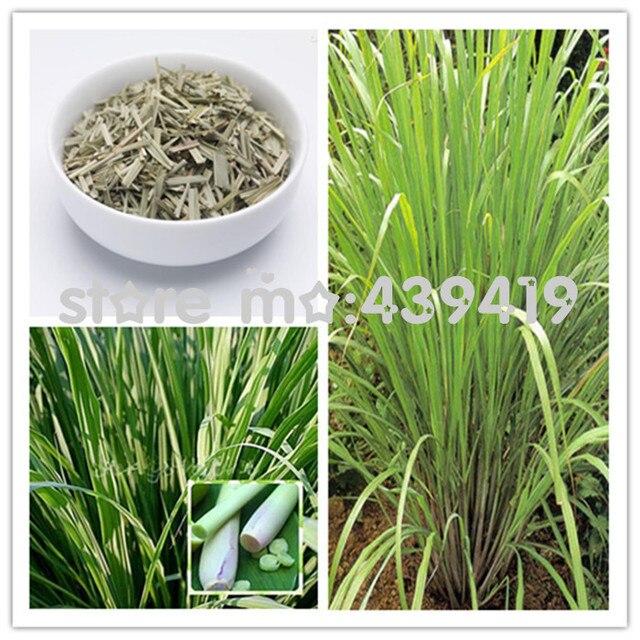 11 11 On Sale 500pcs Bag East India C Flexuosus Lemon Grass