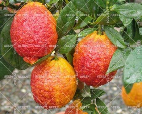 20 PCS/BAG red lemon tree also is Blood Orange Organic fruit seeds bonsai red lime seeds healthy food home garden plant pot