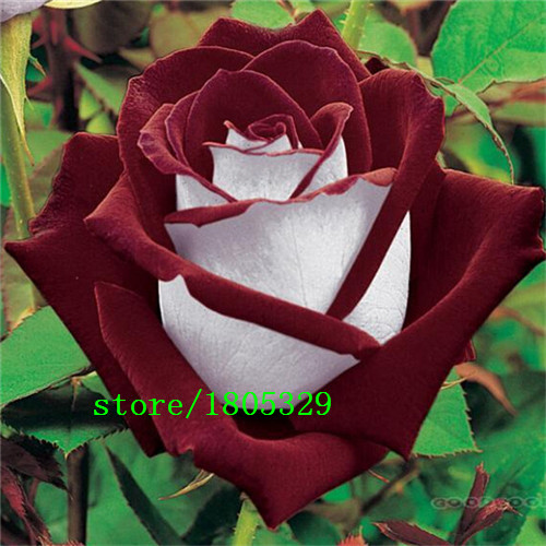 abracadabra rose graines-achetez des lots à petit prix abracadabra