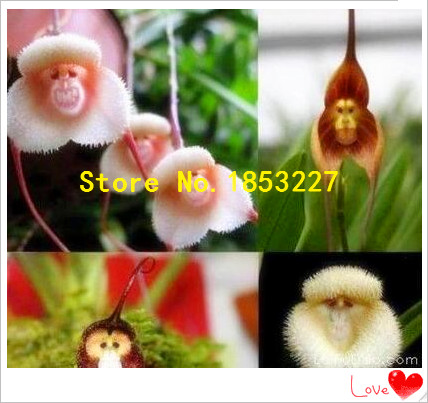 100 Piece Potted Peru Monkey Face Orchid Seeds ,Orchis Simia Senior Phalaenopsis Bonsai Plants Flower Seeds