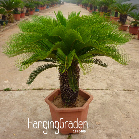 Best Selling Cycas Plant Seeds Potted Flower Seed For Diy Home Garden Household Items 10 Pcs Lot