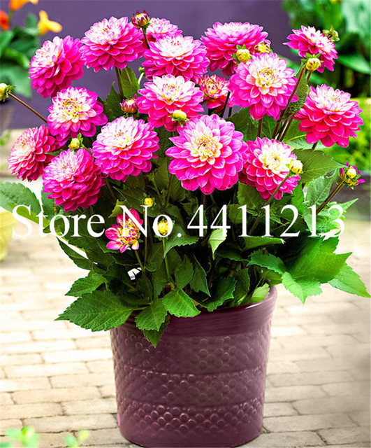 Dahlia Flower Seeds (500 Pieces)
