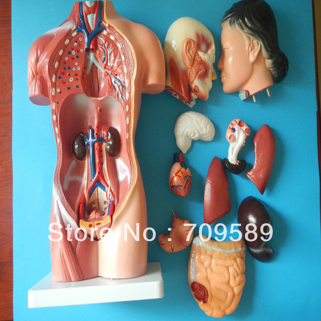 Menschlichen körpers modell anatomie weiblichen torso modell 42 cm ...