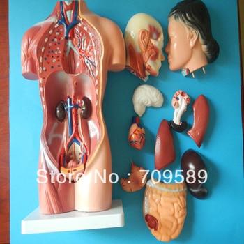 Modelo del cuerpo humano, anatomía modelo torso femenino 42 cm (15 ...