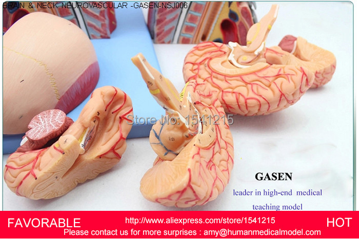 MUSCLE NERVE ANATOMICAL,HEAD AND NECK WITH VESSELS,NERVES AND BRAIN(MEDICAL ,ANATOMICAL MODEL),HEAD AND NECK MODEL-GASEN-NSJ006 economic half head with vessels model anatomical head model with brain nerves vascular muscles and vessels