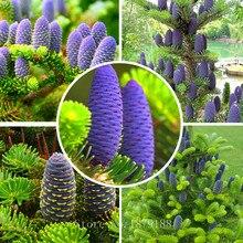 Korean Tree Abies Fir Seeds 30pcs