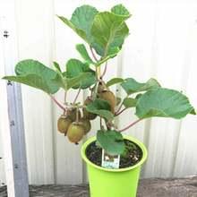 Киви Фруктовые растения Мини киви фрукты бонсай посадки цветов вкусный киви Овощной сад дома 50 шт.