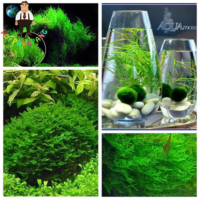 1000pcs Rare Aquarium Planter Java Moss Grass bonsai Raros Gifts Plants Aquario Fish Tank Aquatic for Home Garden