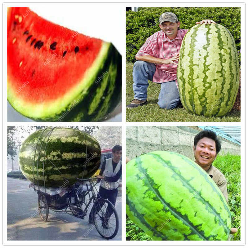 30 قطعة العضوية الفاكهة العملاق البطيخ بونساي لذيذ الصينية الفاكهة مختلف الأشكال البطيخ النباتات DIY المنزل حديقة زراعة