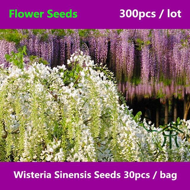 Brightly colored wisteria sinensis 300pcs adaptable chinese brightly colored wisteria sinensis 300pcs adaptable chinese wisteria flower mightylinksfo