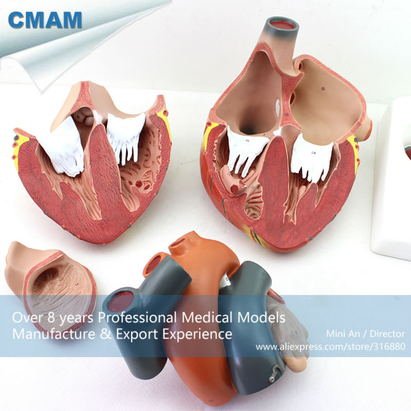 CMAM/12487 Giant Heart - 4 Parts, 4X life size, Human Heart Medical Teaching Anatomical Model