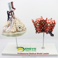 ENOVO The anatomical structure model of human lung segments in the respiratory system of pulmonary alveolar amplification model