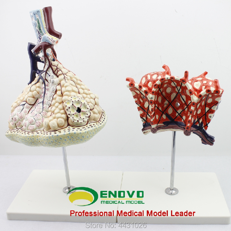 ENOVO The anatomical structure model of human lung segments in the respiratory system of pulmonary alveolar amplification model enovo human larynx and tracheobronchial tree model laryngeal anatomical model pulmonary broncholaryngoscope demonstration
