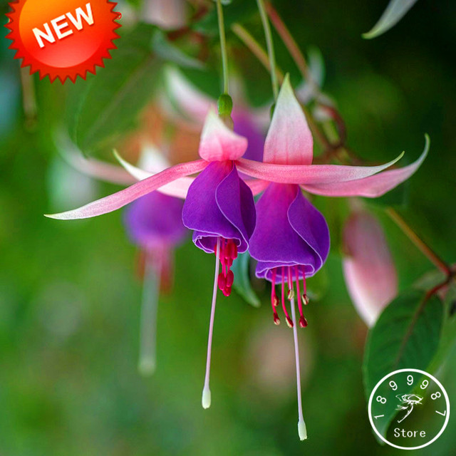 New Fresh Pink Purple Bell Flowers Fuchsia Bonsai Potted Flower Garden Plants Hanging 50 Flores Lot Aa96yx