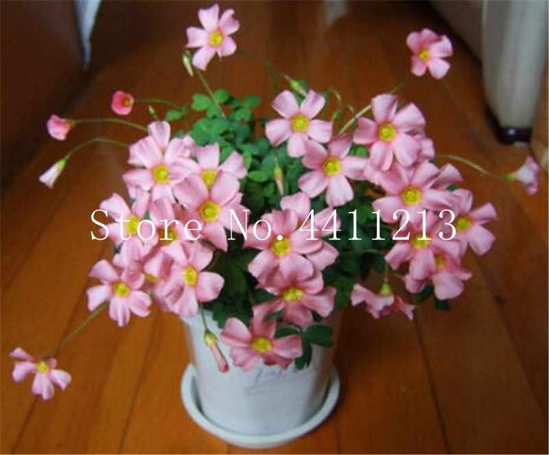 100 ชิ้น Oxalis ไม้ Sorrel ดอกไม้ Oxalis สีม่วง Shamrock Clover 100% จริงดอกไม้ Bonsai บอนไซสำหรับ Home Garden Decor
