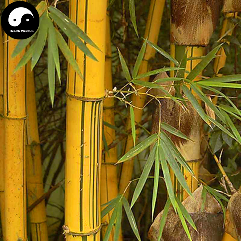 Buy Golden Bamboo Tree Semente 100pcs Plant Bamboo For