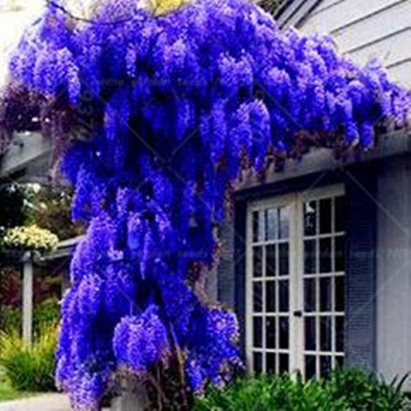10 seeds pack hot sale new blue wisteria tree seeds for Plantas decorativas amazon