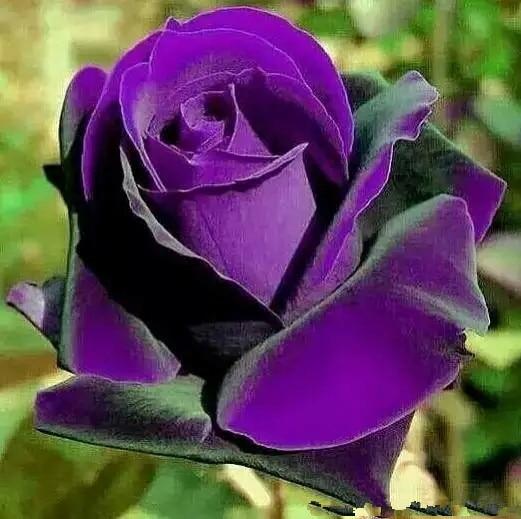 بونساي الورود 200 Pcs ألمانيا نادر الأرجواني التنين روز المزهرة النباتات نبات زهرة للمنزل حديقة
