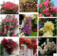 Rosa,Climbing Plants , Polyantha rose, Chinese Flower Seeds ,Climbing Roses Seeds , 200 pcs/bag(China)