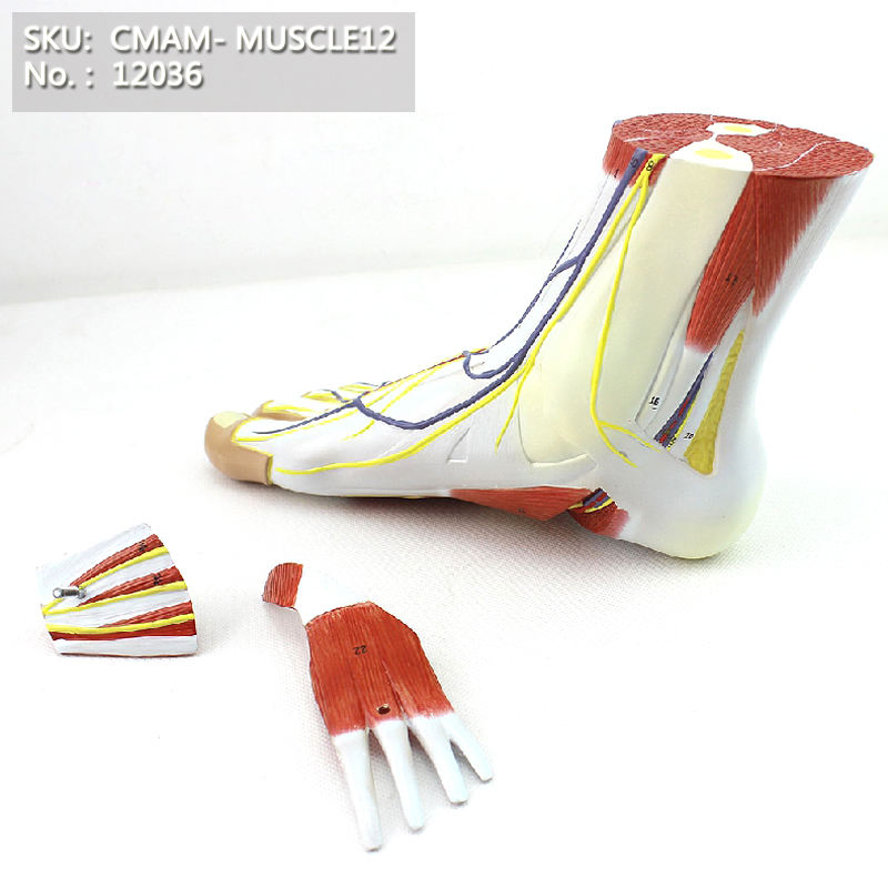 Anatomia do pé de CMAM / 12036, modelo anatômico de ensino plástico do músculo do corpo humano