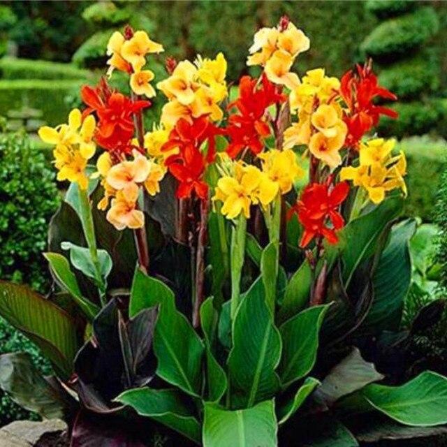 5 seeds/pack Canna Flower Seeds beautiful Flower Petals home garden ...