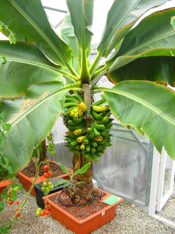 2019 New Style Big Promotion!5 Pcs Japanese Persimmon Fruit Tree Bonsai Non-gmo Fruit Plant High Quality Home Garden Plant Diospyros Kaki Garden Pots & Planters Bonsai