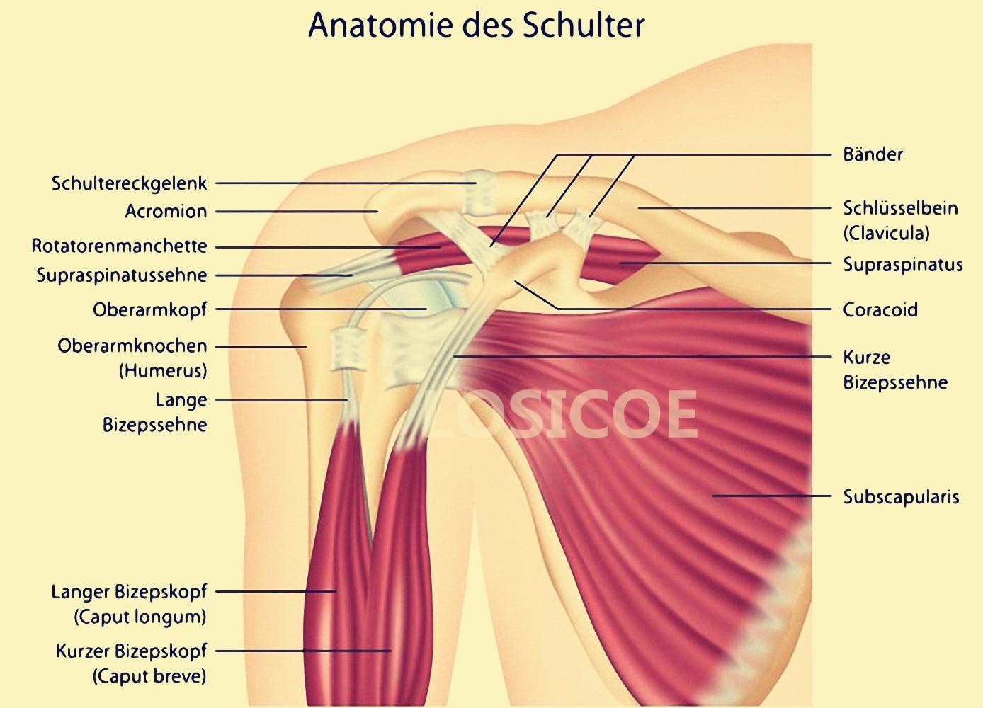 Anatomie des Schulter Medicine Human Anatomy Retro Posters Kraft ...