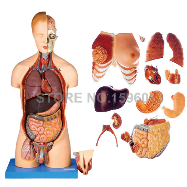 Deluxe  20 Parts Bisexual Torso Model with Internal Organs,Anatomical Torso model with 200 Marks, Anatomy Model medical anatomical torso anatomical model structure human organ system internal organs large throat gasen rzjp075