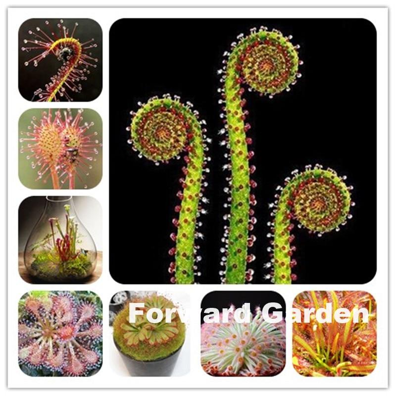 Big Promotion!! 120 Pcs Carnivorous Plants Drosera Peltata Pot Flycatcher Bonsai Sundew Venus Flytrap Table Garden Succulent
