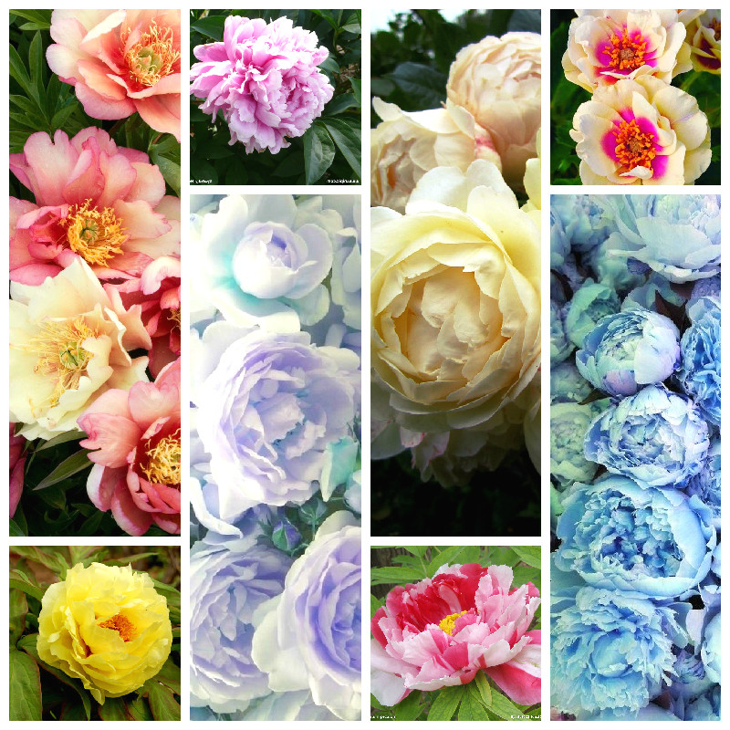 Chinese Peony Seeds 10 Pcs Blooming Courtyard Plants Colorful Flowers In Bonsai Paeonia Suffruticosa Seeds As National Sign