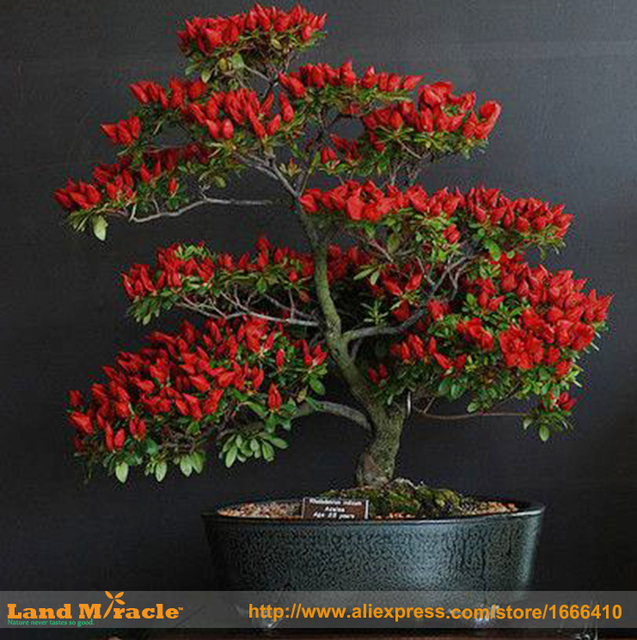 100 Seeds 100% Genuine Fresh Rare Trinidad Moruga Scorpion Pepper Seeds (hot chilli) Organic Vegetable Seeds  Home Garden Bonsai