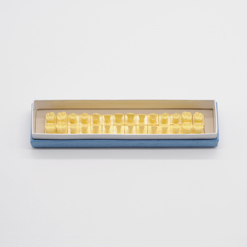 Modèle de dents permanentes dentaires 1:1 avec modèle d'anatomie anatomique des dents de Base pour les fournitures de dentisterie