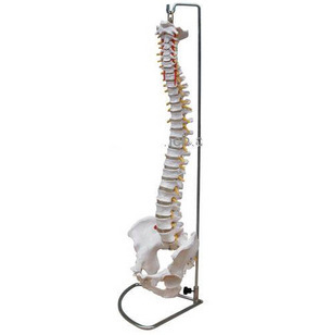 Human spine model life size adult belt cervical spine model skeleton model