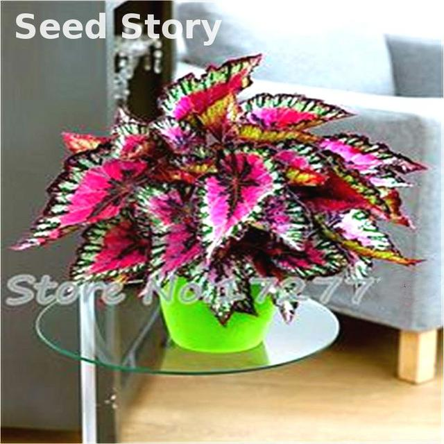 Colored Grass Seeds, Indoor Potted Bonsai Plant Coleus Blumei Hot ...