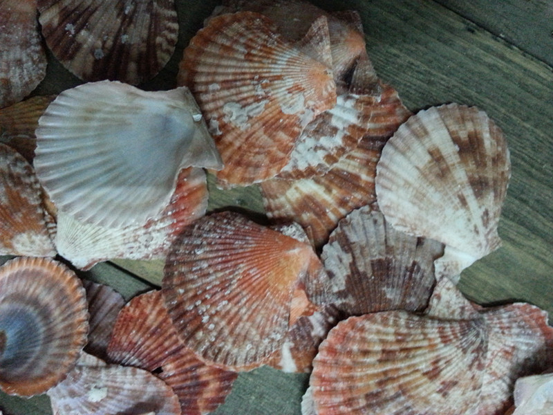 100 Natural Brown Colour Seashells Idea For Home Decoration China Mainland