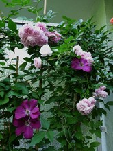 Climbing Roses Seeds ,100pcs/bag