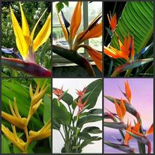 60pcs multicolor Bird of Paradise flower seeds Strelitzia perennial seed Indoor Potted Plant garden decor