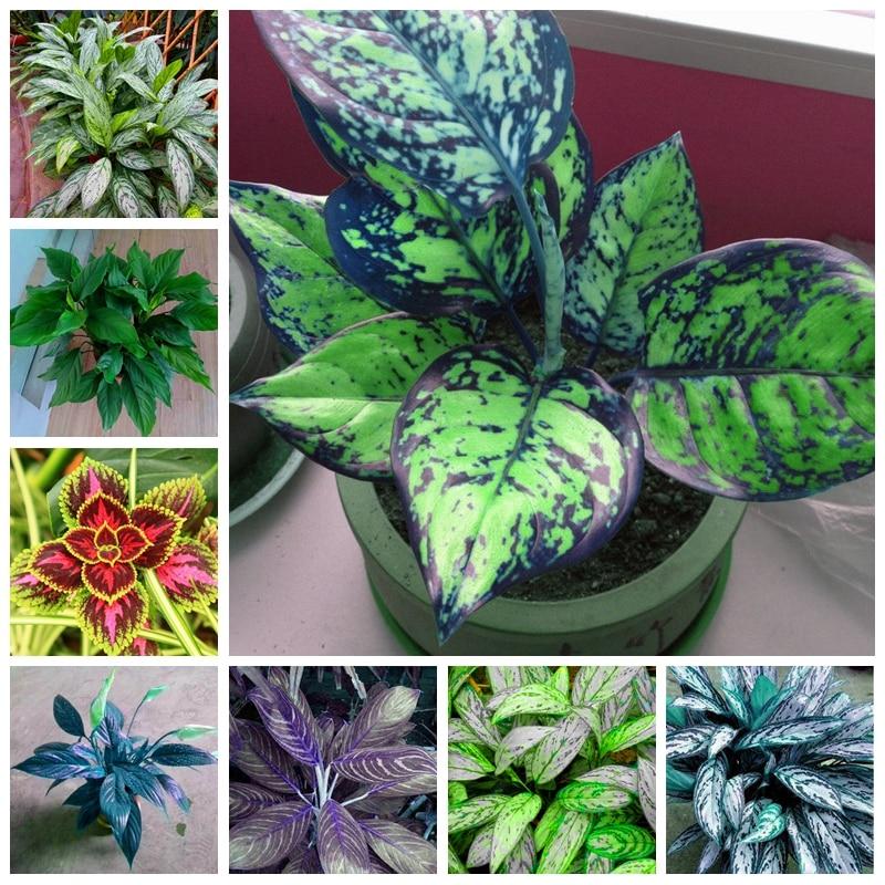 600 Gambar Bunga Aglonema  Paling Baru