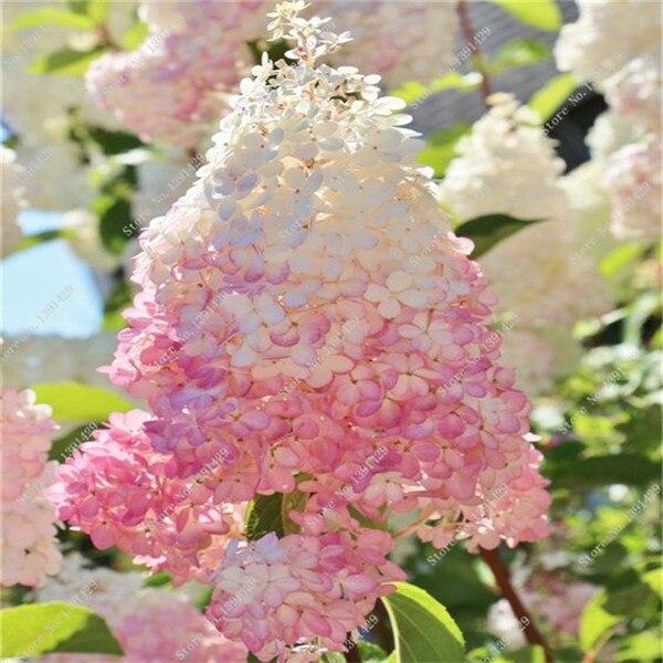 50 vanilla strawberry hydrangea flower seeds as bonsai plant or tree in pot or ground hydrangea - Vanilla Strawberry Hydrangea