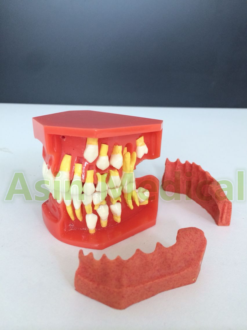 New Arrival Dental Tooth Teeth Anatomical Anatomy Model Children Dental Model помада make up factory lip color 231 цвет 231 pinky grace variant hex name a6566c