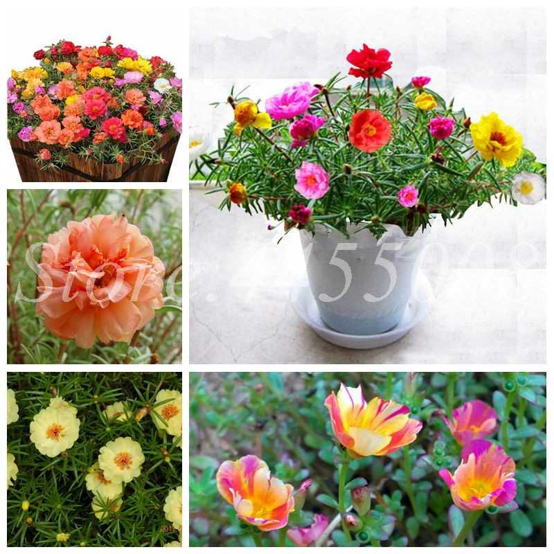 100 Pcs Exotic Portulaca Grandiflora Bonsai Moss-Rose Purslane Double Indoor Flower Potted DIY Home Garden Flower DIY Planting