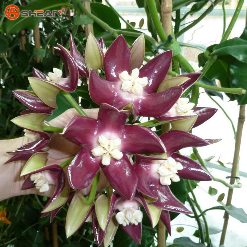 Орхидеи Семена цветов фото